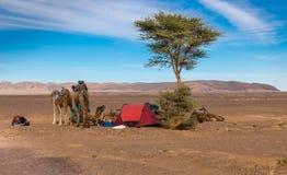 Καμήλες που στηρίζονται κοντά στην ακακία Στοκ Φωτογραφίες