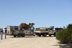 Καμήλες σε ένα φορτηγό στον κόλπο Αυστραλία καρχαριών Στοκ Φωτογραφίες