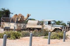 Καμήλες σε ένα φορτηγό στον κόλπο Αυστραλία καρχαριών Στοκ εικόνα με δικαίωμα ελεύθερης χρήσης