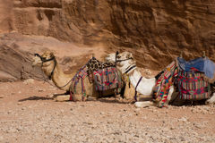 Καμήλες σε στάση, Petra στοκ φωτογραφία με δικαίωμα ελεύθερης χρήσης