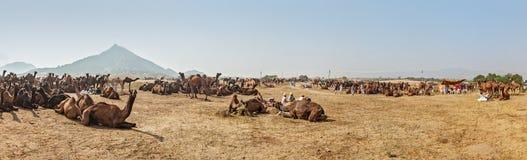 Καμήλες σε Pushkar Mela (έκθεση καμηλών Pushkar), Ινδία στοκ εικόνα