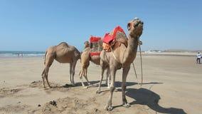 Καμήλες στην παραλία στο Μαρόκο απόθεμα βίντεο