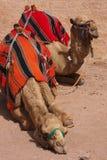 Καμήλες στη Petra Στοκ Εικόνες