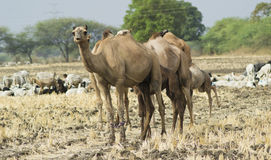Καμήλες στον τομέα Στοκ Φωτογραφία