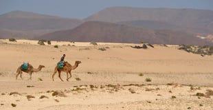 Καμήλες στους αμμόλοφους Στοκ εικόνα με δικαίωμα ελεύθερης χρήσης