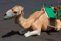 Καμήλες στο ηφαίστειο antonio SAN του Λα Palma Στοκ Φωτογραφία