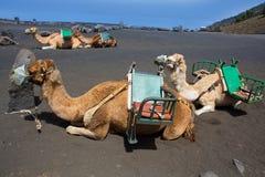 Καμήλες στο ηφαίστειο antonio SAN του Λα Palma Στοκ φωτογραφία με δικαίωμα ελεύθερης χρήσης