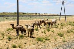 Καμήλες στο σιδηρόδρομο Στοκ εικόνα με δικαίωμα ελεύθερης χρήσης