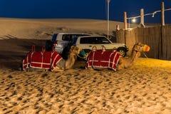 Καμήλες ύπνου στην έρημο στη νύχτα, Ντουμπάι Στοκ εικόνες με δικαίωμα ελεύθερης χρήσης