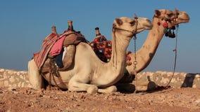 Καμήλες απόθεμα βίντεο