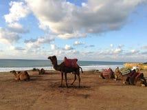 καμήλες στοκ φωτογραφία
