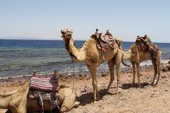 καμήλες Στοκ εικόνα με δικαίωμα ελεύθερης χρήσης