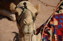 Καμήλες, Petra Στοκ Εικόνες