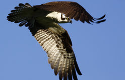 καμμμένα πετώντας φτερά osprey Στοκ φωτογραφίες με δικαίωμα ελεύθερης χρήσης