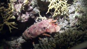 Καμπουριασμένος αστακός παντοφλών haanii Scyllarides στο βυθό της Ερυθράς Θάλασσας απόθεμα βίντεο