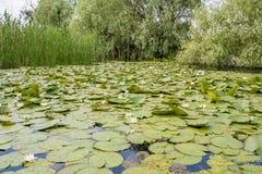 Κανάλια στο δέλτα Δούναβη με τους κρίνους νερού Στοκ εικόνες με δικαίωμα ελεύθερης χρήσης