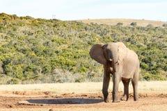 Κανένα νερό - αφρικανικός ελέφαντας του Μπους Στοκ φωτογραφία με δικαίωμα ελεύθερης χρήσης