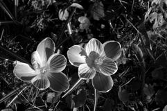 Κανένα χρωματισμένο λουλούδι Στοκ Φωτογραφίες
