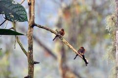 Κανέλα chested flycatchers Στοκ εικόνες με δικαίωμα ελεύθερης χρήσης