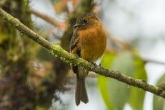 Κανέλα Flycatcher (cinnameus Pyrrhomyias) Στοκ Φωτογραφίες