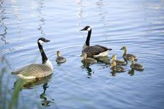 καναδικές άγρια περιοχές οικογενειακών χήνων Στοκ φωτογραφία με δικαίωμα ελεύθερης χρήσης