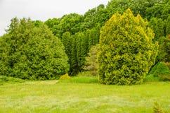 Καναδικές ερυθρελάτες στο δάσος μεταξύ των έλατων και των πεύκων ημέρα ηλιόλουστη στοκ εικόνες