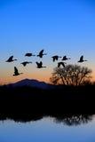 καναδικές πετώντας χήνες Στοκ Εικόνα