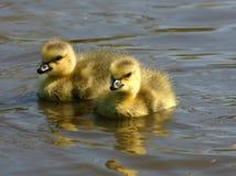 καναδικές χήνες μωρών Στοκ Φωτογραφία