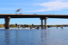 Καναδικές χήνες που απογειώνονται για την πτήση που κάνει τον παφλασμό στο νερό στοκ φωτογραφίες