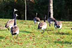 Καναδικές χήνες στους λόφους Μίτσιγκαν Farmington Στοκ εικόνες με δικαίωμα ελεύθερης χρήσης