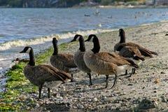 καναδικές χήνες Στοκ εικόνες με δικαίωμα ελεύθερης χρήσης