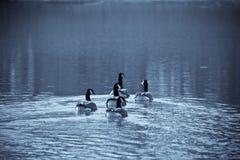 καναδικές χήνες Στοκ Εικόνες