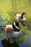 καναδικές χήνες Στοκ φωτογραφίες με δικαίωμα ελεύθερης χρήσης
