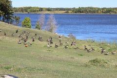 Καναδικές χήνες Στοκ Φωτογραφία