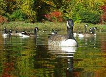 Καναδική κολύμβηση χήνων Στοκ Φωτογραφία