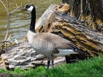 καναδική χήνα στοκ φωτογραφία με δικαίωμα ελεύθερης χρήσης