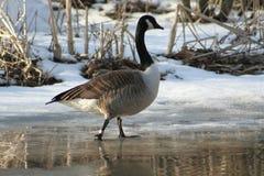 καναδική χήνα Στοκ φωτογραφίες με δικαίωμα ελεύθερης χρήσης