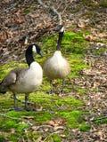 καναδικό ζευγάρι χήνων Στοκ Εικόνες