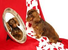 καναδικό dachshund πατριωτικό Στοκ εικόνα με δικαίωμα ελεύθερης χρήσης