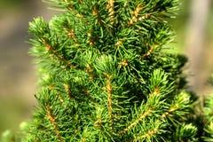 Καναδικό fir-tree βελόνες στοκ φωτογραφία με δικαίωμα ελεύθερης χρήσης