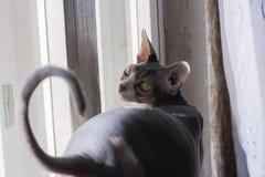 Καναδικό sphinx, άτριχη γάτα, φαλακρή γάτα, πράσινα μάτια στοκ φωτογραφίες με δικαίωμα ελεύθερης χρήσης