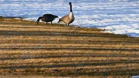 Καναδόχηνες που βόσκουν στη χλόη κοντά στο χιόνι απόθεμα βίντεο