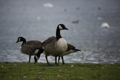 Καναδόχηνες στη λίμνη Broadwood, Cumbernauld στοκ φωτογραφίες