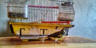 Καναρίνι πουλιών Στοκ φωτογραφία με δικαίωμα ελεύθερης χρήσης