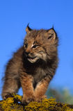καναδικά λυγξ γατακιών Στοκ Εικόνα