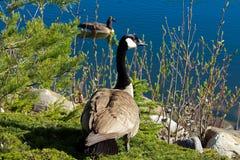 Καναδικές χήνες εκτός από το νερό με άλλο που κολυμπά στο υπόβαθρο Στοκ Φωτογραφία