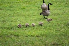 Καναδικές χήνες με τα hatchlings Στοκ φωτογραφία με δικαίωμα ελεύθερης χρήσης