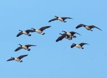 καναδικές χήνες πτήσης Στοκ εικόνα με δικαίωμα ελεύθερης χρήσης