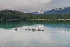 Καναδικές χήνες σε μια καναδική λίμνη στην ιάσπιδα Στοκ εικόνα με δικαίωμα ελεύθερης χρήσης