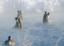 Καναδικές χήνες στη λίμνη της Αϊόβα Στοκ Εικόνα